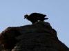 vautours_mongole