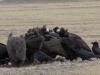 vautours mongoles