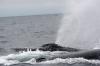 baleines-puerto-lopez