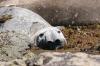 elephant-de-mer