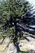 parque-conguillo-araucaria