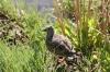 aconcagua-oiseau