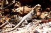 el-leoncito-lezard