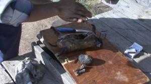 marmotte grillée