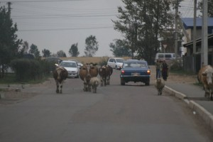 des vaches dans la circulation
