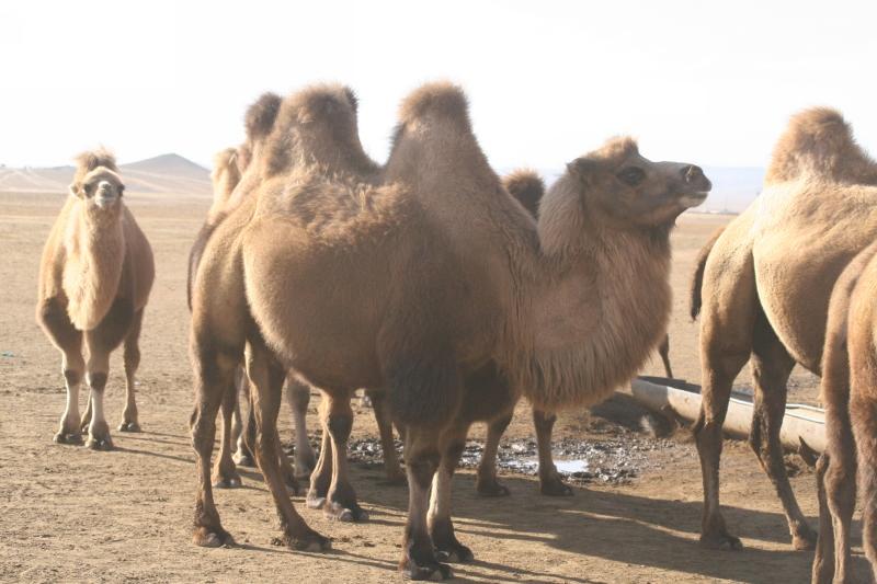 chameau mongole