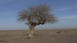 arbre du désert