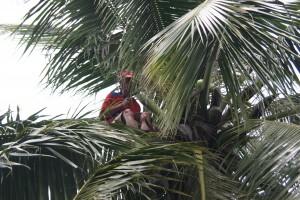 ramasseur de coco