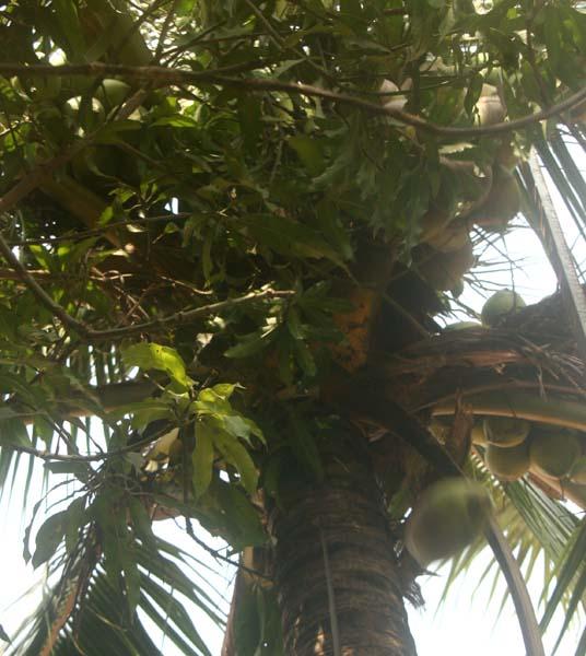 cocotier bufardtourdumonde laos