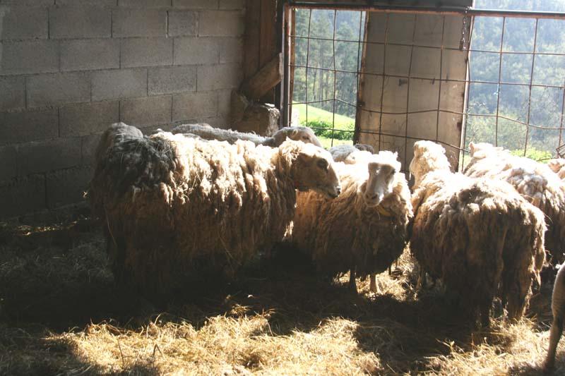 moutons pas tondus