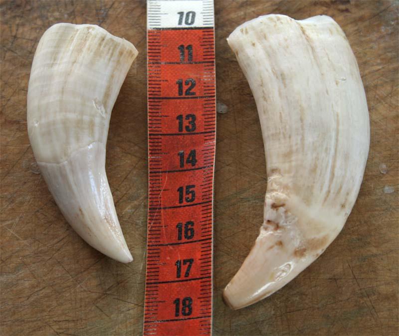dents lion de mer